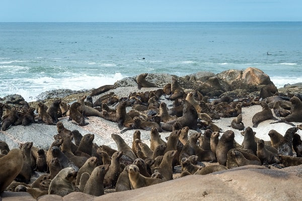 Hoanib_Skeleton_Coast_seals namibia