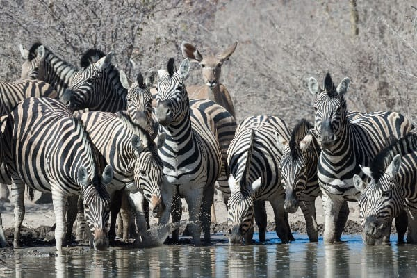 safari-hoek-lodge-zebra-namibia